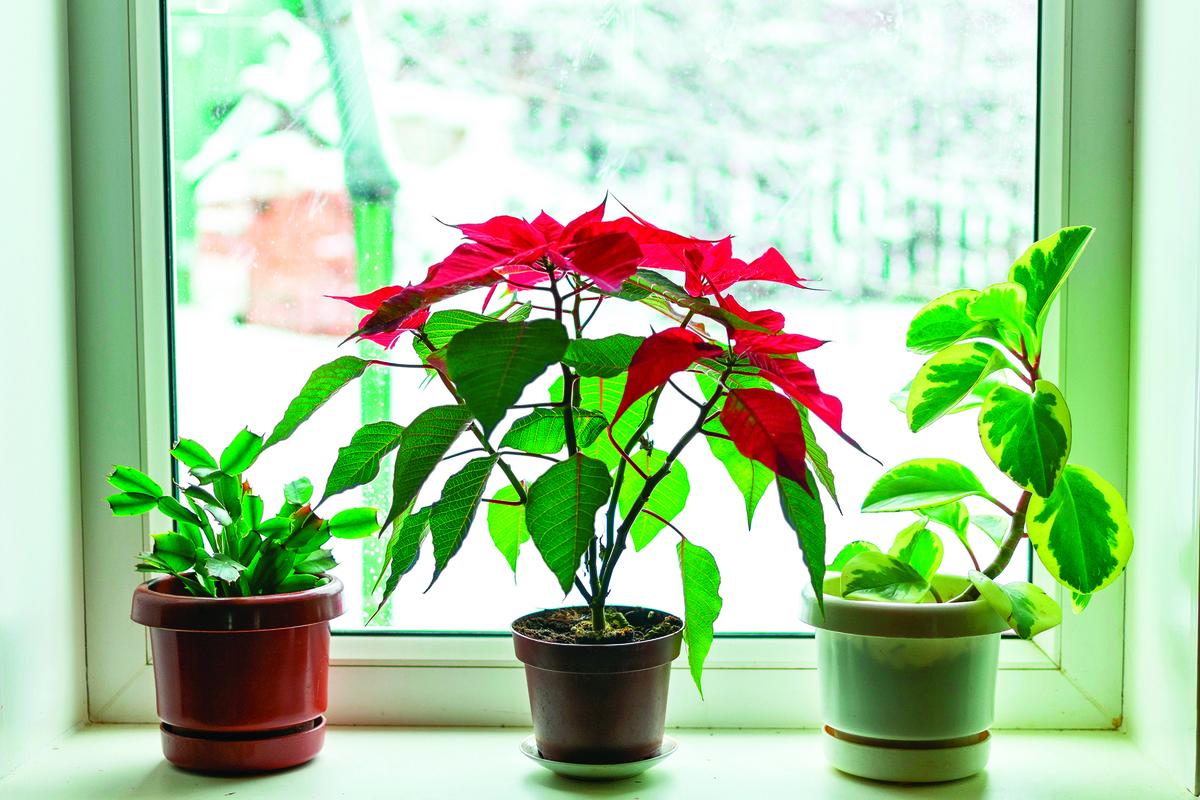 在寒冷的天氣裏,室內植物能增添屋內的活力。