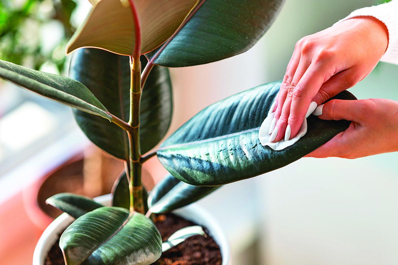 拿塊布沾點水,輕輕擦掉葉子上的灰塵。