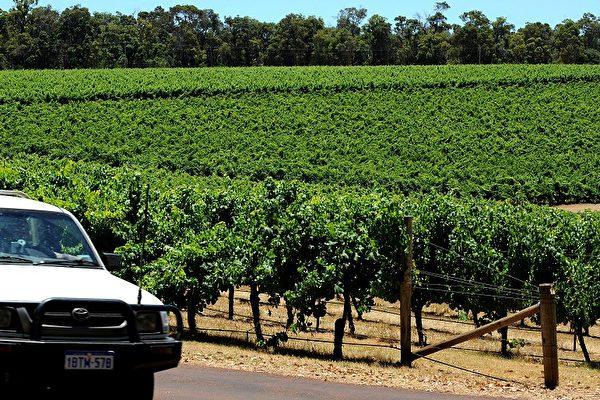 國際知名的西澳洲瑪格麗特河葡萄酒產區的葡萄園。(GREG WOOD/AFP/Getty Images)