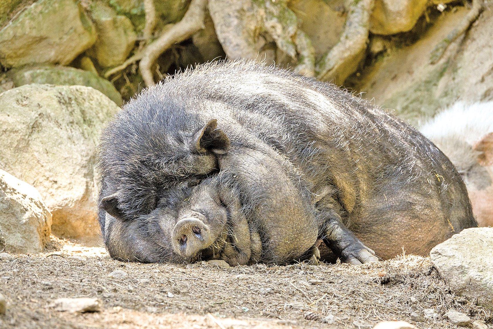 江洋大盜由於殺人造業太重應該轉世為豬,任人宰殺以還殺生之業。示意圖。 (pixabay)