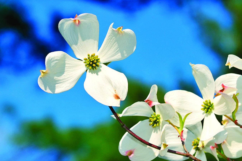 大花山茱萸是低致敏植物。