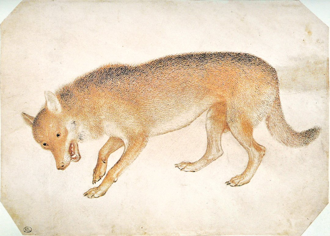 狼圖像,安東尼奧(Antonio Pisanello)十五世紀畫作,現存巴黎羅浮宮博物館。(公有領域)