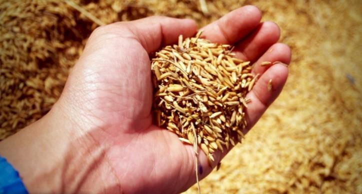 中共聲稱今年糧食豐收已成定局。(網絡截圖)