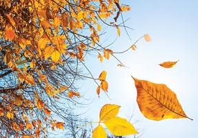 甚麼因素讓樹葉在秋天掉落?