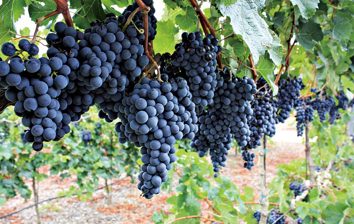 小維鐸(Petit Verdot)葡萄。