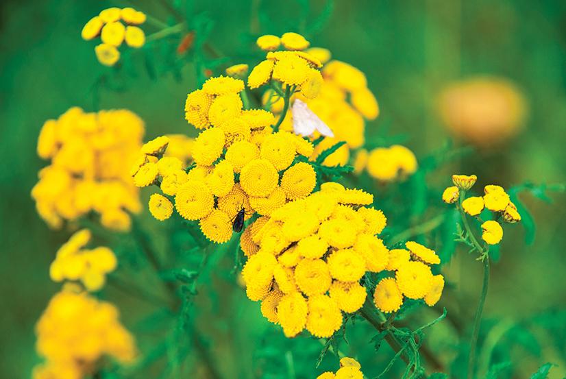 可以在庭園裏種植艾菊,用來做「香草驅蟲藥」。