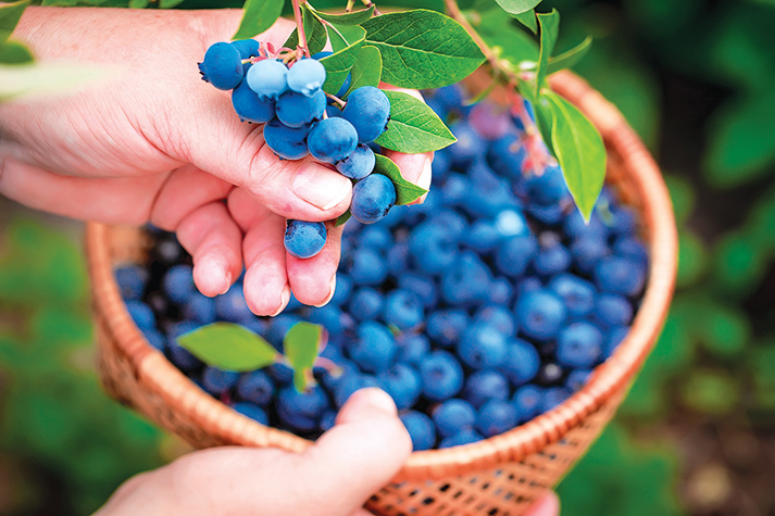 想要做加工儲存的漿果,最好挑選當季的。