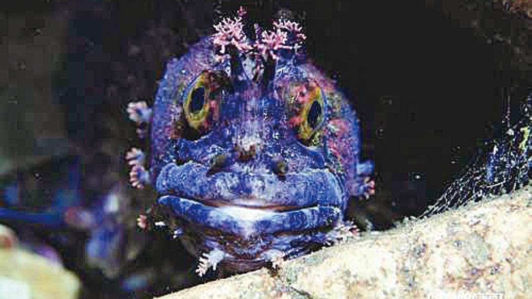 2012年,日本潛水攝影家鍵井靖章在福島周邊海底拍下了一尾因核輻射而變異的海鯰魚。(網絡圖片)