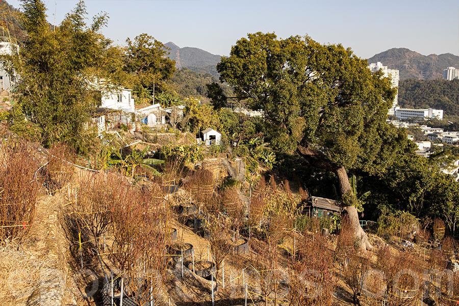 花田所處的位置在芙蓉山,受地理環境所限,以梯田種植,景觀特別。(陳仲明/大紀元)