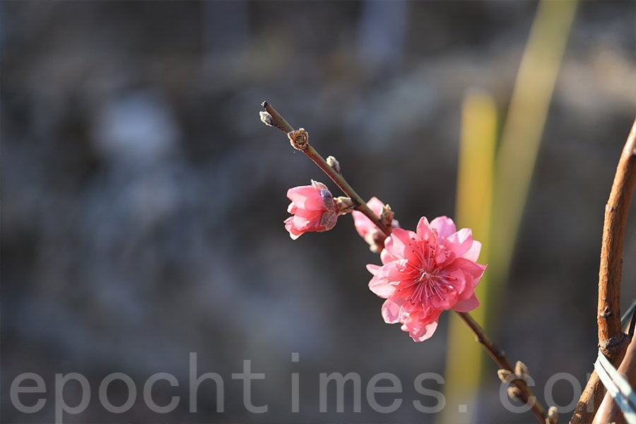 邱先生表示,今年的桃花比往年的花枝幹粗些壯些。(陳仲明/大紀元)