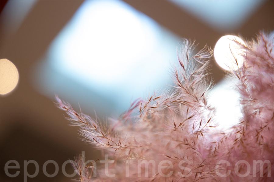 風乾的芒草花穗披上粉色外衣。(陳仲明/大紀元)