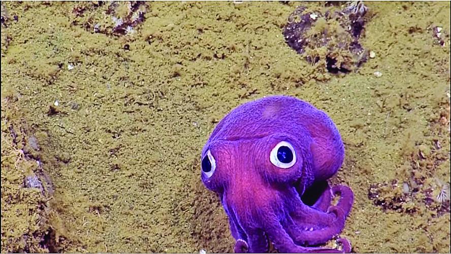 科學家將視頻上傳共用網絡後,大眼魷魚迅速在網上走紅。(視頻截圖)