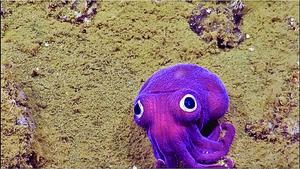 美加州900米深海大眼紫魷魚如卡通