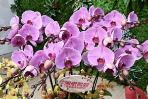 【圖片新聞】東港城明起推「新春花市限定店」獨家發售多款蘭花