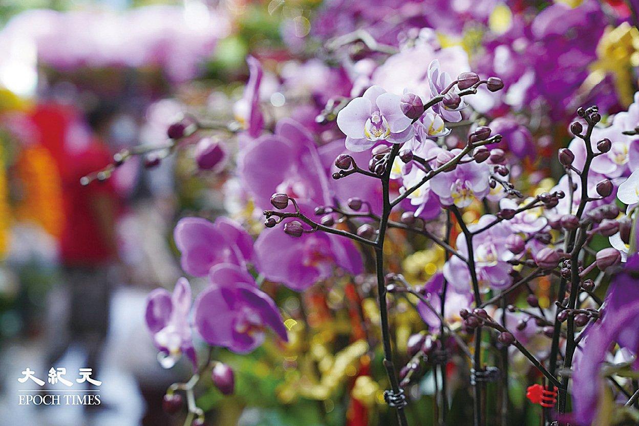 新品種蝴蝶蘭彩虹,花心是如同霞光的粉紅色。(余鋼/大紀元)