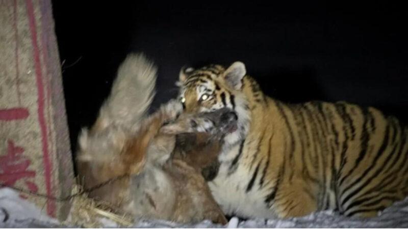 一隻野生東北虎下山進農戶家裡咬狗。(影片截圖)
