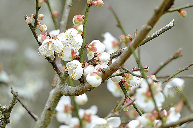 梅花開是冬春交替的表徵。(黃淑貞/大紀元)
