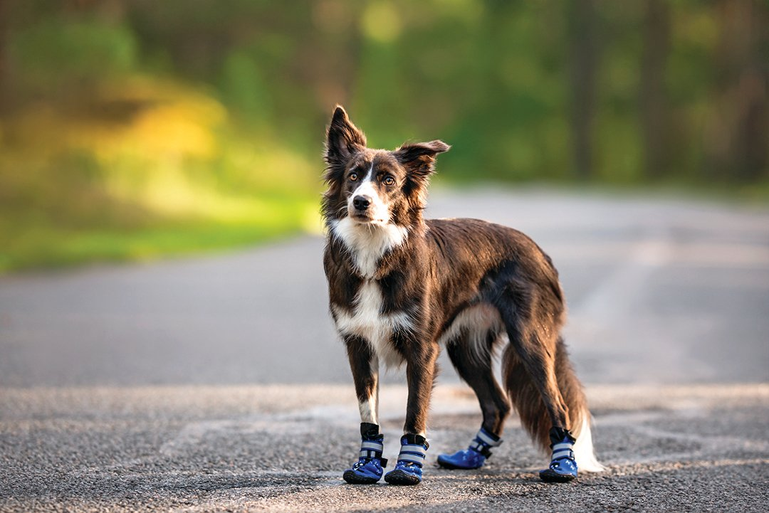 夏季天氣炎熱,外出健行可給狗狗穿靴子,預防腳底燙傷。