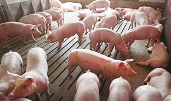 中國現四種非洲豬瘟變異病毒 傳染力強難防控
