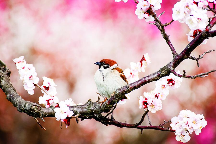 麻雀與梅花