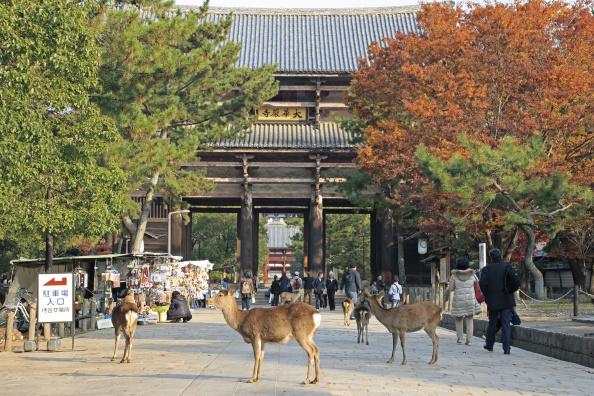 寺廟和野生鹿是日本古都奈良的兩大特色。(Getty Images)
