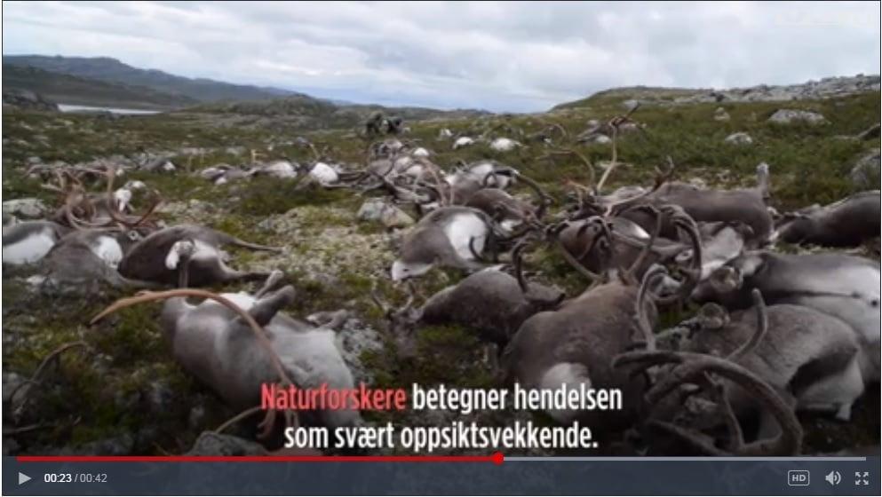 26日一場雷暴竟然導致挪威300多頭馴鹿死亡。(vg.no視像擷圖)