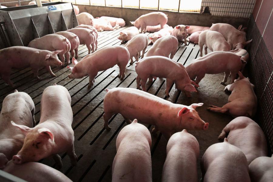 萬科、阿里、京東和華為擬加入養豬業