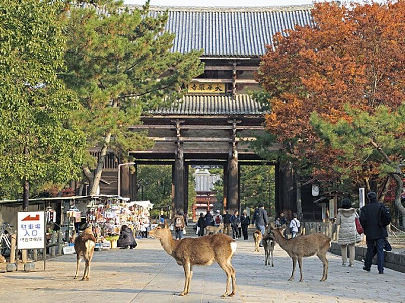 寺廟和野生鹿是日本古都奈良的兩大特色。( Getty Images)
