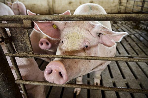黃河內蒙古堤段出現大量死豬,引民眾恐慌和質疑。圖為豬場示意圖 (Photo by RONALDO SCHEMIDT / AFP)