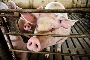 黃河大堤內現大量死豬 有的已風化成骨架