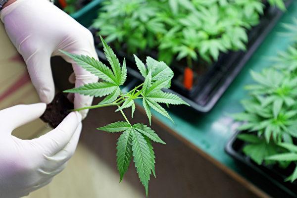 圖為大麻示意圖。(Shutterstock)