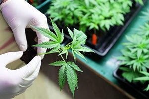 吳耀漢女兒種植大麻被捕 自製大麻朱古力
