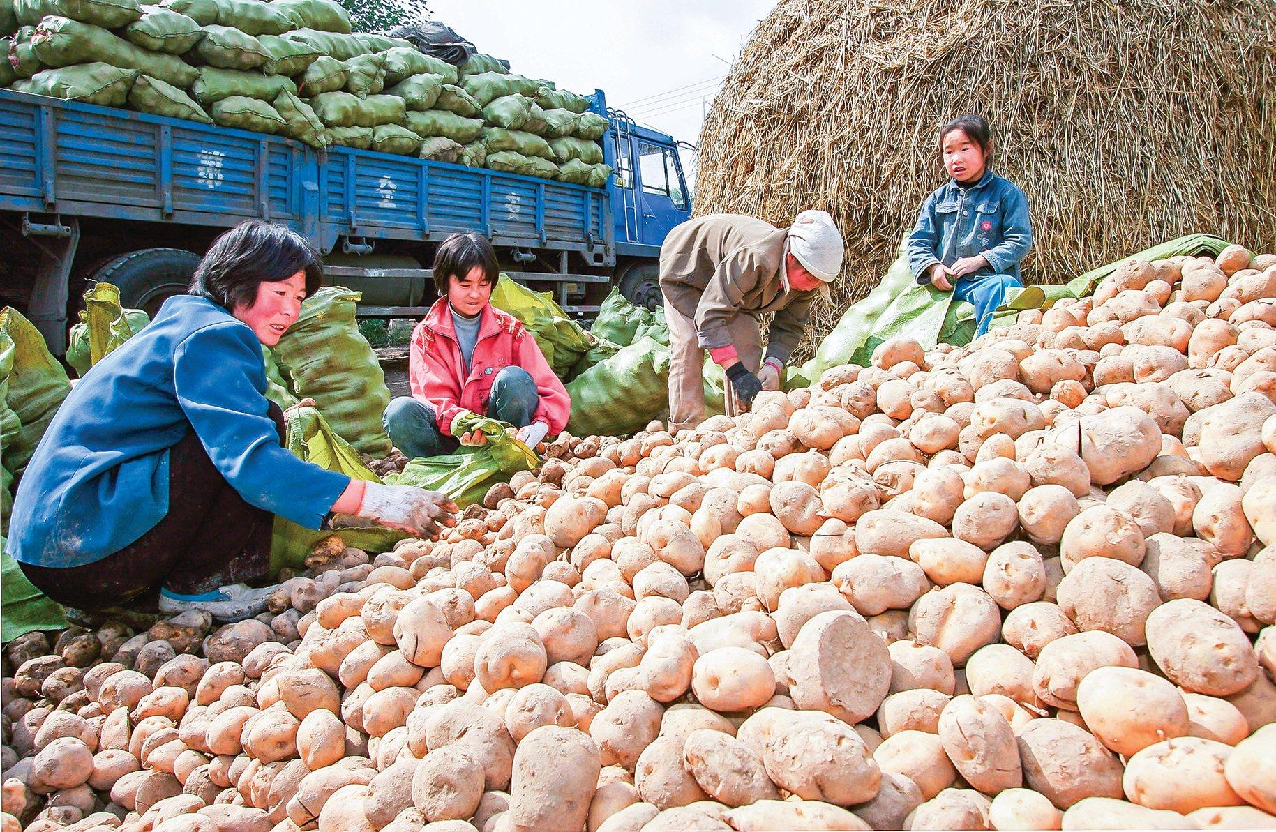 2014至2019年,中國種子進口大於出口,例如,土豆、辣椒、洋蔥、胡蘿蔔、番茄等蔬菜主要是依靠洋種育成。圖為青海省的農民在把收穫的土豆裝上車。(Getty Images)