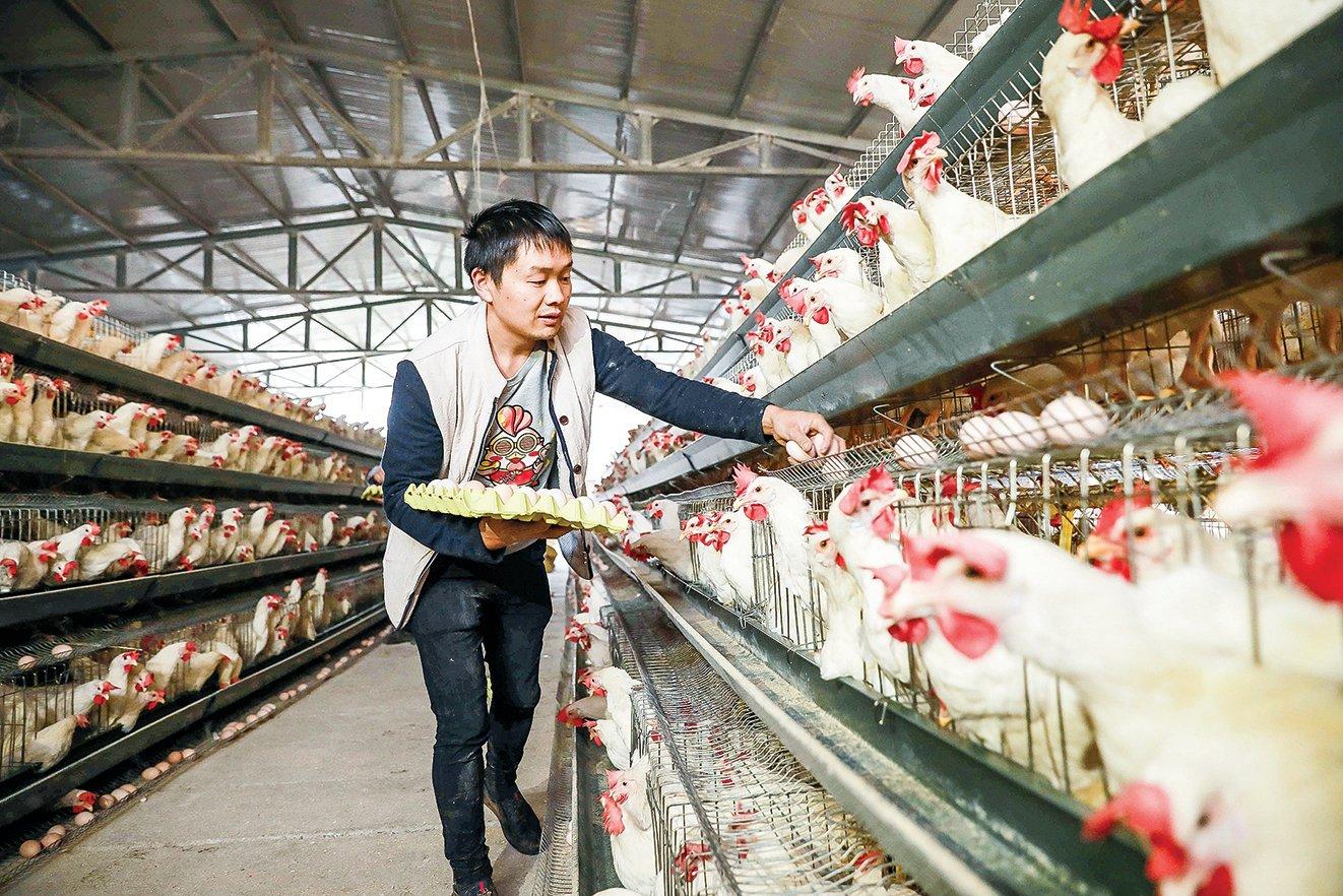 2020年,除了種豬,中國的種雞、種牛、種鴨等引種徹底依靠進口。圖為2018年在中國貴州省的一個農場裏,農工在撿收雞蛋。(Getty Images)