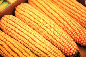 中共為何要求減少玉米大豆用量?