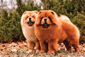 中小型犬更長壽 這些犬種陪你更久(下)