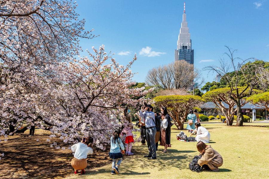 日本京都櫻花提前綻放 創1200多年最早紀錄