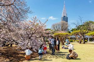 東京櫻花早開創紀錄 三月底已落櫻繽紛