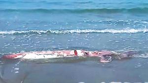 大地震前兆? 巨大烏賊擱淺日本海岸
