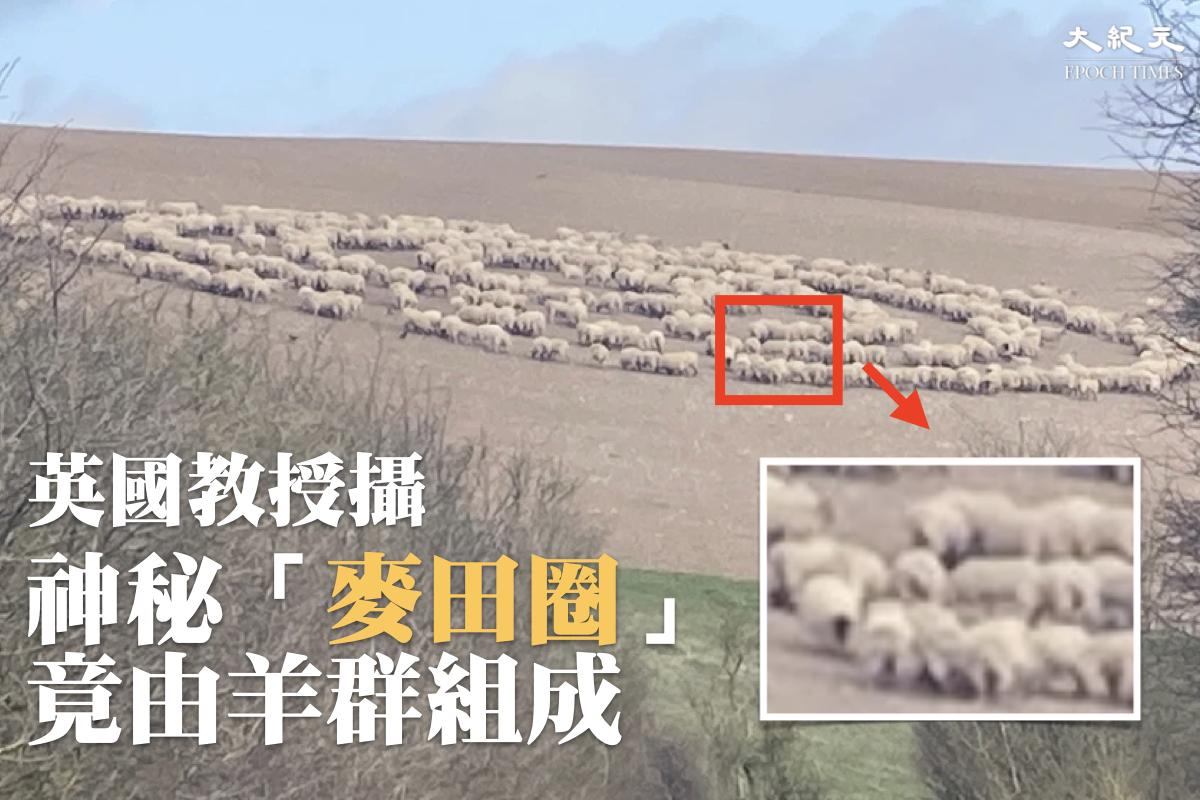 英國男子霍格(Christopher Hogg)在東薩塞克斯郡目擊一群綿羊排成神秘的圓圈圖案。(大紀元製圖)