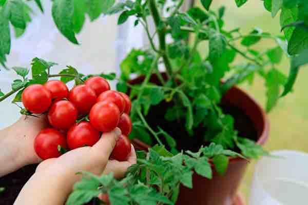 4月14日,日本著名食品公司可果美(KAGOME)宣佈,今年內將完全停用新疆番茄來製作番茄醬,做出此決定的考量之一是因「新疆人權問題」。(Shutterstock)