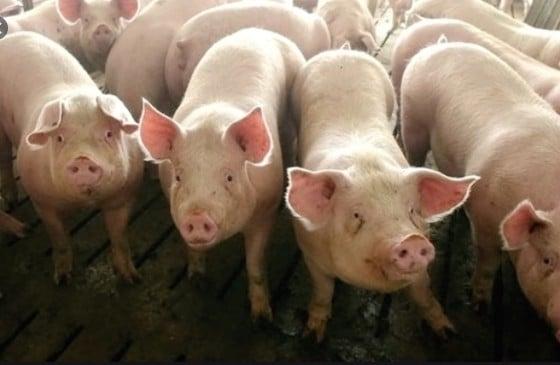 股價下跌 豬肉價格直逼個位數