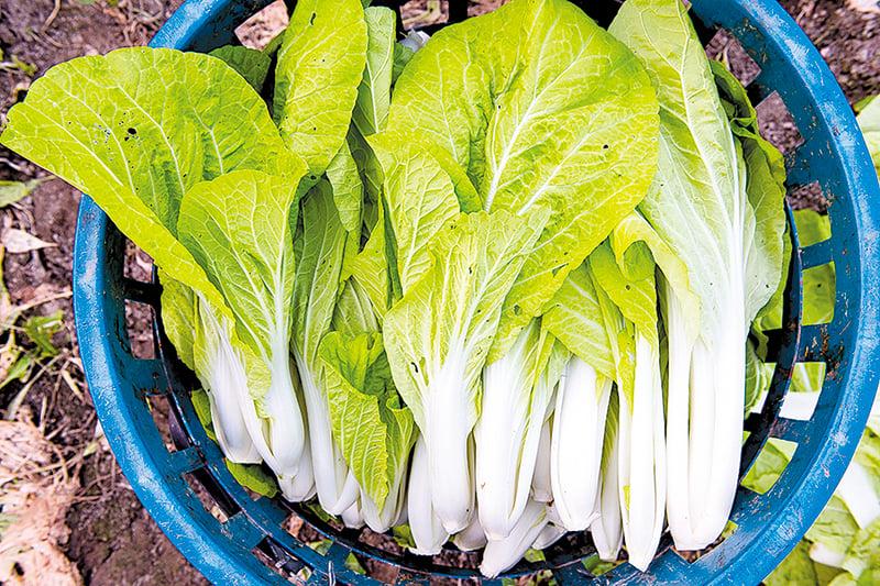 購買小白菜時,最好選有被蟲咬過的痕跡,農藥會少一點。