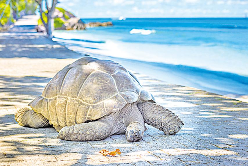 塞舌爾群島的珍稀動物──巨型亞達伯拉象龜。(Fotolia)