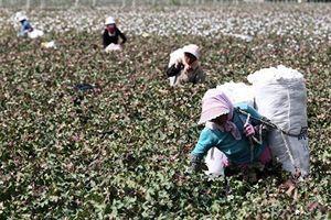 中共無視國際標準 擬推「未來棉花」計劃自訂標準