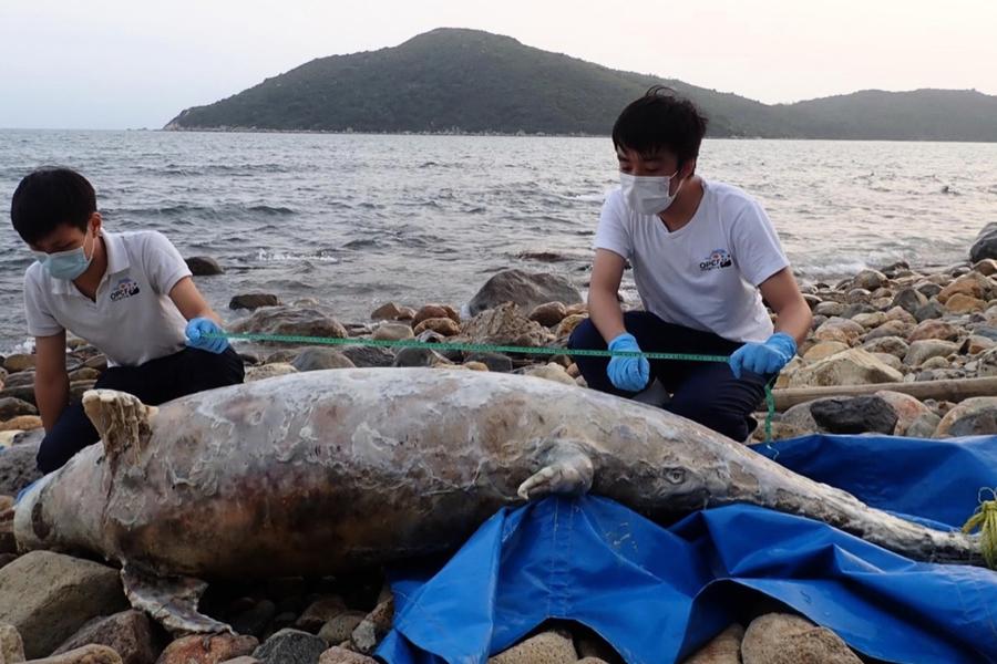 中華白海豚大嶼山擱淺 保育基金會指逾半海豚因誤食塑膠死