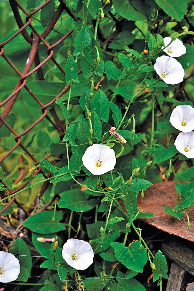 如果你的花園需要一片植物花牆,可以考慮會攀緣的田旋花。