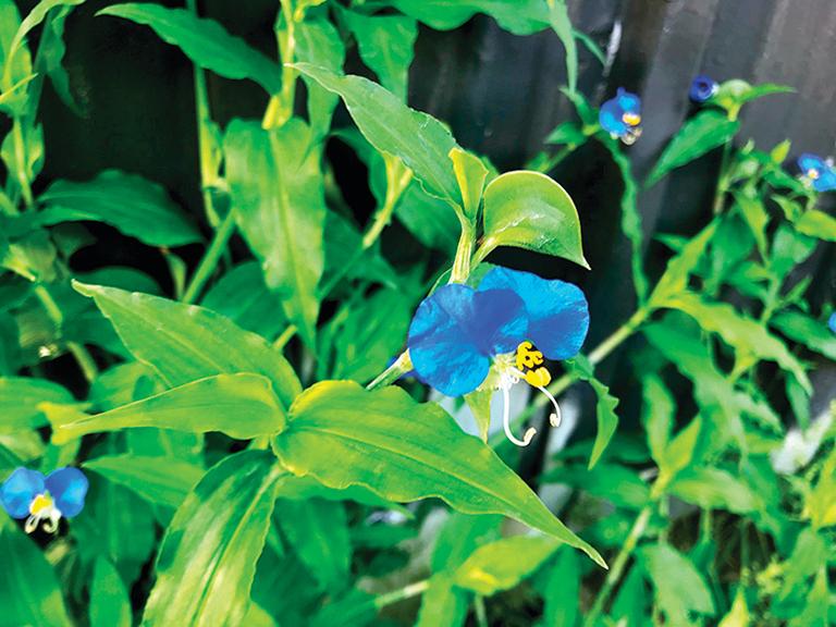 鴨跖草一早就開出藍色花,但每過了中午就開始凋萎。