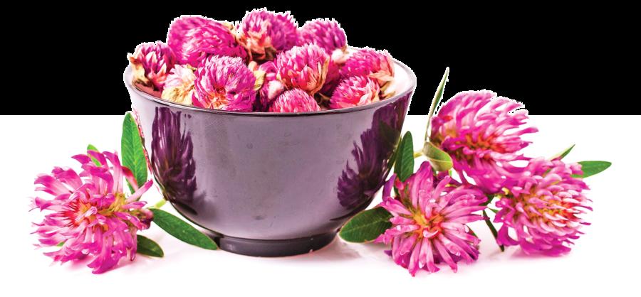紅花苜蓿富含異黃酮   有效緩解更年期症狀   預防慢性病