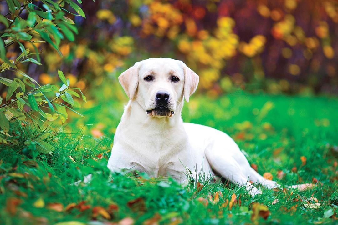 拉布拉多犬喜歡游泳,還會幫忙運送水中獵物。